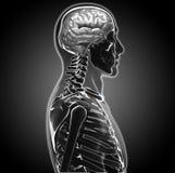 Mänsklig hjärna Royaltyfria Bilder