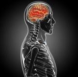 Mänsklig hjärna Fotografering för Bildbyråer