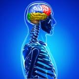 Mänsklig hjärna Arkivbild