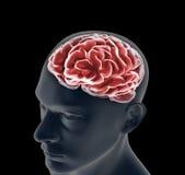 Mänsklig hjärna Royaltyfri Bild