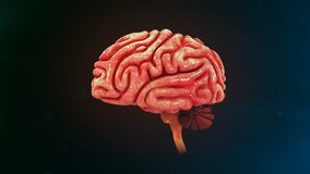 Mänsklig hjärna Royaltyfri Fotografi