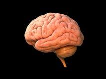 Mänsklig hjärna Royaltyfri Foto