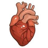 Mänsklig hjärta Arkivbilder