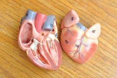 Mänsklig hjärta arkivfoton