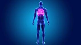 Mänsklig hjärta-, lunga- och membranzoom med den skelett- kroppen arkivfilmer