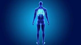 Mänsklig hjärta-, lunga- och membranzoom med den skelett- kroppen lager videofilmer