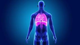 Mänsklig hjärta, lungor och membran med den skelett- kroppen arkivfilmer