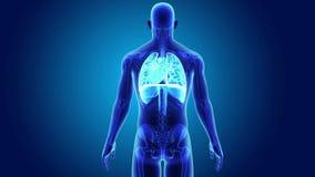 Mänsklig hjärta, lungor och membran med den skelett- kroppen stock video