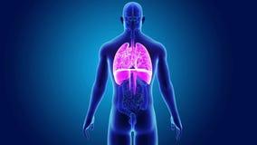 Mänsklig hjärta, lungor och membran med organ arkivfilmer