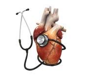 mänsklig hjärta och stetoskop Arkivfoton
