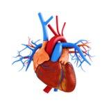 Mänsklig hjärtaanatomiillustration Arkivfoton