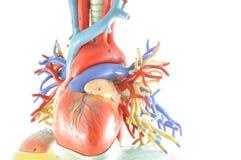 Mänsklig hjärtamodell arkivbild