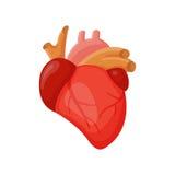 Mänsklig hjärtavektorillustration Royaltyfri Foto