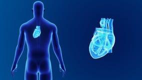 Mänsklig hjärtazoom med kroppen stock video