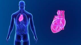 Mänsklig hjärtazoom med organ arkivfilmer