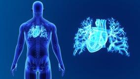 Mänsklig hjärtazoom med skelettet lager videofilmer