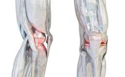 Mänsklig knäleduppsättning illustration 3d vektor illustrationer