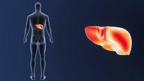 Mänsklig leverzoom med det cirkulations- systemet stock video