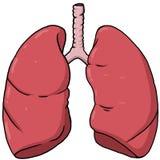 Mänsklig lungaanatomi arkivbild