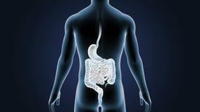 Mänsklig mage och inälva med kroppen arkivfilmer