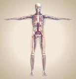 Mänsklig (manlig) cirkulationssystem och nervsystem royaltyfri illustrationer