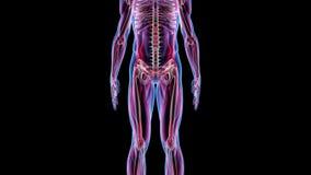Mänsklig manlig för animeringbiologi för anatomi 3D teknologi för vetenskap arkivfilmer
