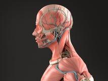 Mänsklig medelcloseup för anatomisidosikt av huvudet på mörk bakgrund Royaltyfri Foto