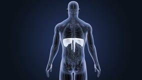 Mänsklig membran med anatomi lager videofilmer