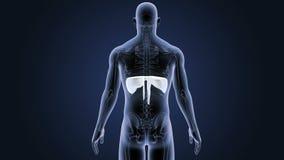 Mänsklig membran med den skelett- kroppen stock video