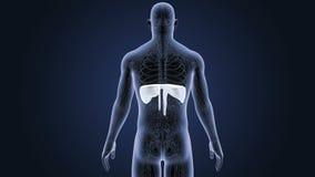 Mänsklig membran med det cirkulations- systemet stock video