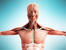 Mänsklig muskelanatomi 3d framför på blåttframdel Arkivbilder