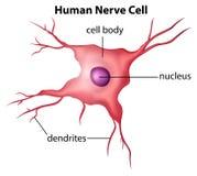 Mänsklig nervcell Arkivfoton