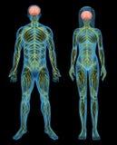 mänsklig nervsystem Arkivbilder
