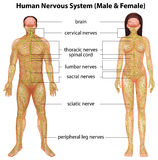 mänsklig nervsystem Arkivfoton