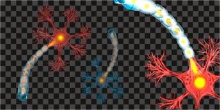mänsklig neuron som 3d isoleras på genomskinlig bakgrund realistisk ballonsillustration Mall för medicin- och biologipresentation stock illustrationer