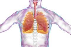 Mänsklig respiratoriskt kontur för system, för lungor, för luftstrupe, för struphuvud och för manlig kropp med skelettet vektor illustrationer