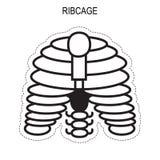 Mänsklig ribcageanatomi Royaltyfri Fotografi