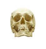 mänsklig scull Arkivfoto