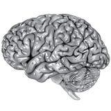 mänsklig sidosikt för hjärna Royaltyfri Fotografi