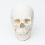 mänsklig skalle Arkivbild