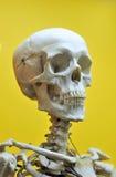 mänsklig skalle royaltyfria foton