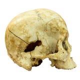 Mänsklig skalle isolerad bakgrund Fotografering för Bildbyråer