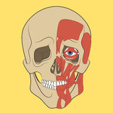Mänsklig skalle med muskelsystemet Arkivfoto