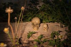 Mänsklig skalle (skalle) på trä Fotografering för Bildbyråer