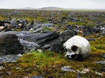 Mänsklig skalle som upptäcks på Novaya Zemlya (det nya landet) Fotografering för Bildbyråer