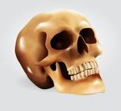Mänsklig skalle (vektorillustrationen) Arkivfoto