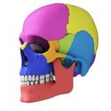 Mänsklig skalleanatomi stock illustrationer