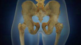 Mänsklig skelett- bäcken- områdesvisualization tillbaka sikt royaltyfria foton