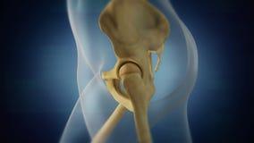Mänsklig skelett- bäcken- områdesvisualization Vänster sida royaltyfri foto