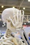 Mänsklig skelett och orientering av en mänsklig skallecloseup, arkivfoton